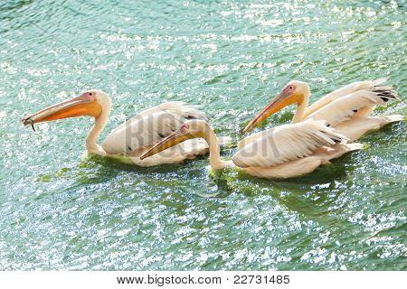Drei Pelikane waten in einem Teich. Einer von ihnen schlucken ein Fisch