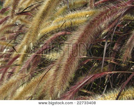 Setaria Italica Red Jewel - Red Bristle Grass