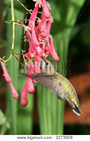 女性膢蜂鸟和开普 Fusia