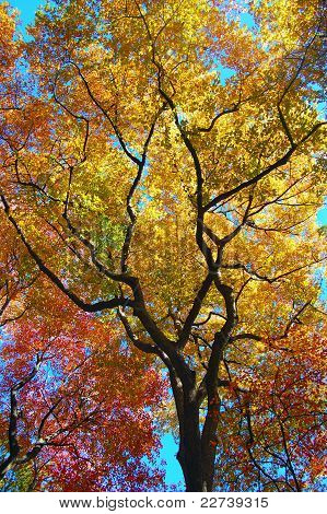 Leaves Changing Colors on a Tree During Fall