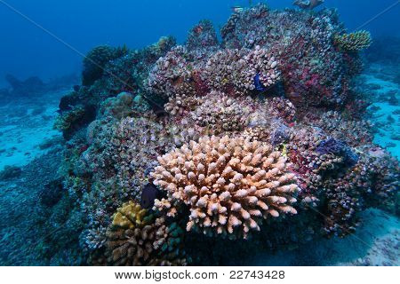 Hard Corals, Maldives