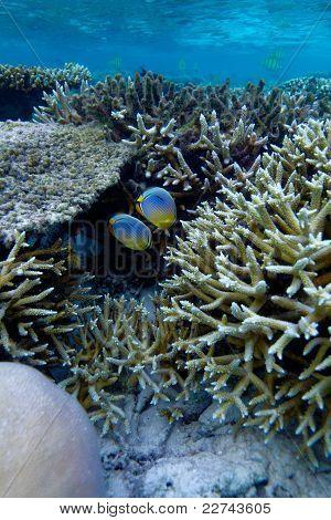 Oval Butterflyfish (chaetodon Lunulatus), Maldives