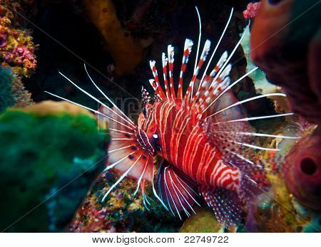 Lionfish (Pterois miles) divesite Batu bolong (Current city) E of Komodo Indonesia