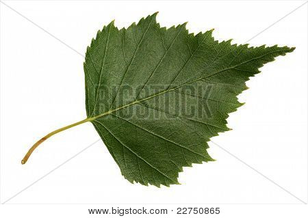 birchen leaves closeup isolated