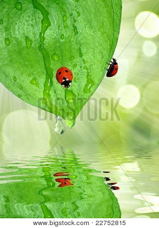 ladybird on the dewy leaves