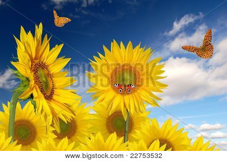 sunflower field with butterfly