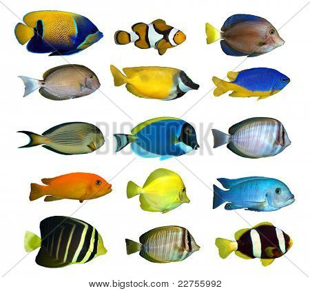 tropical reef fish