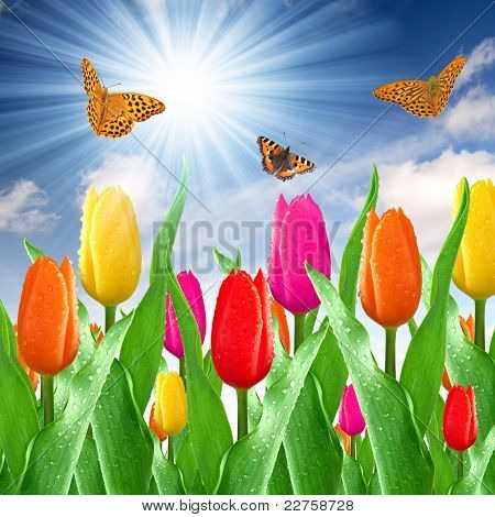 dewy color tulips with butterfly
