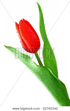 dewy tulip isolated on a white