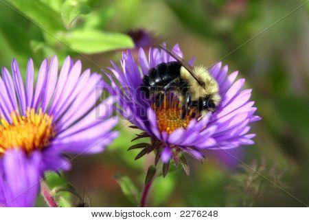 Bee On Purple Daisy