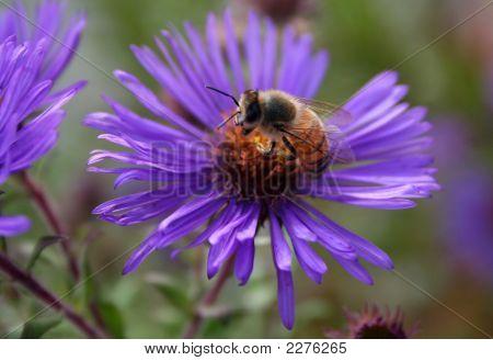 Honey Bee On Blue