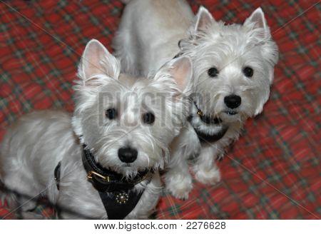 Westie Twins