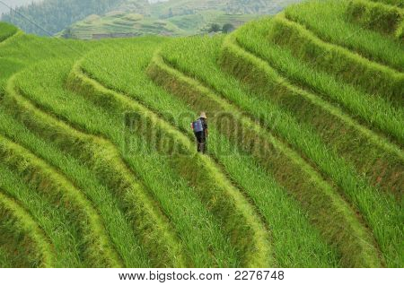 Worker On Rice Terraces