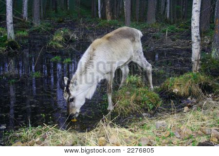 The Young Deer Drinks Water From Wood Lake
