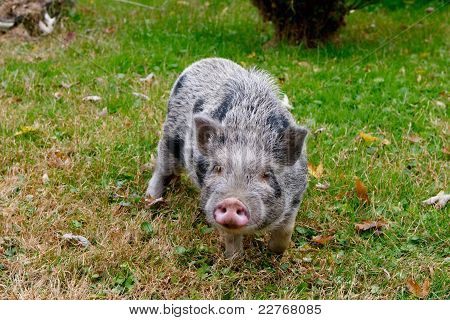 Black And Grey Haired Small Pig In The Grass
