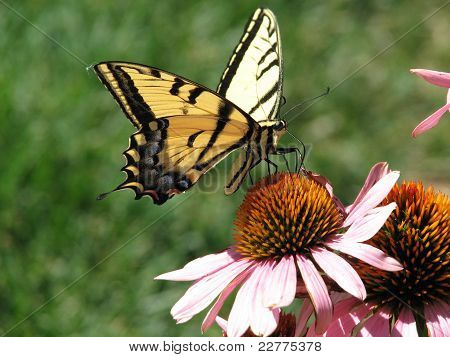 Swallowtail Perch
