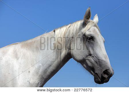 Portrait of white stallion
