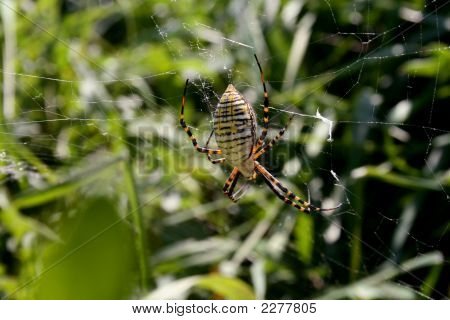 Large Scarey Spider In Web