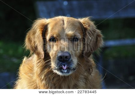 Golden Retriever Face In Park 2