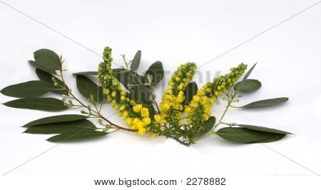 Eucalyptus With Mahonia