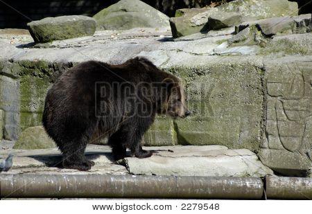 Brown Bear In Zoo.