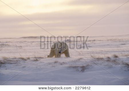 Polar Bear On Arctic Tundra