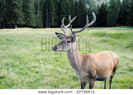 young e horny male deer  in mountain landscape