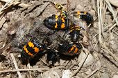 stock photo of dead mouse  - Burying Beetles  - JPG