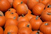 foto of jack-o-laterns-jack-o-latern  - A large harvest of pumpkins before Halloween - JPG