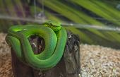 Dangerous Green Snake On Cut Wood Trunk. Green Snake In Glass Box For Show. Close Up Face Of Green S poster