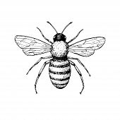 Honey Bee Vintage Vector Drawing. Hand Drawn Isolated Insect Sketch. Engraving Style Illustrations.  poster