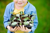 Little Boy Holding Seedling In Plastic Pots On The Domestic Garden At Summer Sunny Day. Gardening Ac poster