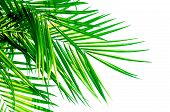 Green Leaf Of Coconut Palm Tree Isolated On White Background . poster