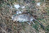 A Dead Rat On The Grass, A Rodent, A Distributor Of Infections, Diseases poster