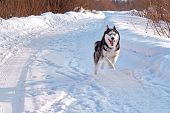 Merry Husky Dog Runs Fast. Black And White Siberian Husky Runs Ahead With All Its Might. poster