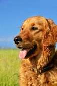 stock photo of golden retriever puppy  - orange golden retriever dog portrait outdoors on green meadow over blue sky - JPG