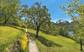 Trail Through An Orchard In The Alps Mountains - Spring Scenery With A Hiking Trail Through An Orcha poster