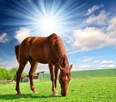 picture of horse head  - horse in the meadow - JPG
