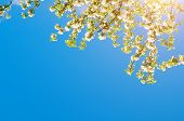 Spring Landscape. Spring Flowers Of Blooming Spring Apple Tree Against Blue Sunny Sky, Free Space Fo poster