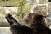Brown Bear In Zoo Speaks Good-Bye.