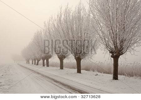 Frosted Willows In A Row.