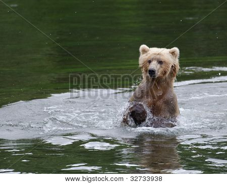 Alaskan Brown Bear Running Through Water