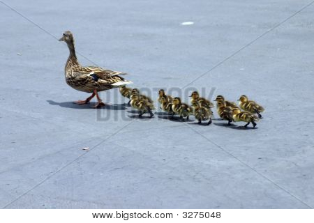 Momma Duck And Ducklings 2