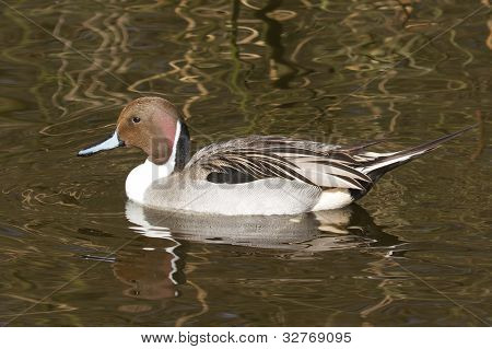 Northern Pintail Drake Swimming