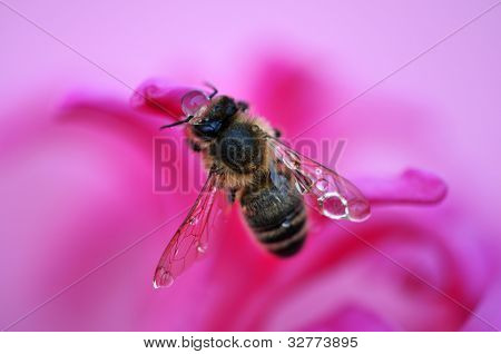 bee with raindrops on a flower