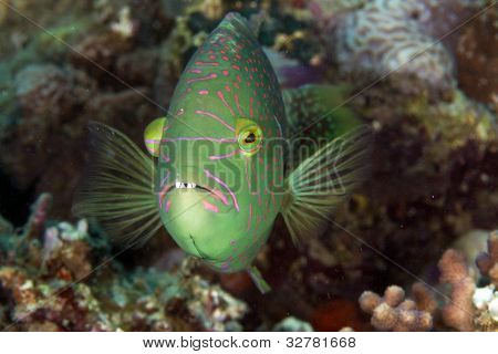 Abudjubbe wrasse (cheilinus abjubbe) in the Red Sea.