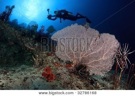 Diver Swims Above Sea Fans, Maldives