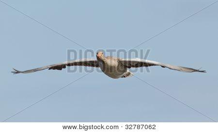 A Greylag Goose In Flight