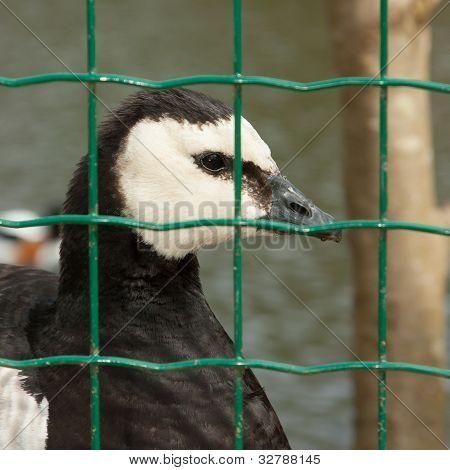 Barnacle Goose In Captivity
