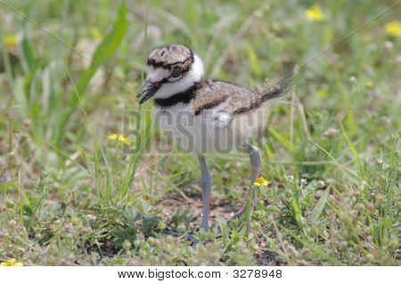 Baby Killdeer (Charadrius Vociferus)